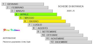 Ptilostemon gnaphaloides [Cardo lineare] - Flora Italiana