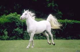 baby white horse. Simple Baby Horses Images White Horse  HD Wallpaper And Background Photos In Baby I
