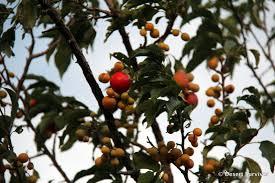 Plum Trees For Sale  Buy Plum Trees From Stark Brou0027sPlum Tree Flowers But No Fruit
