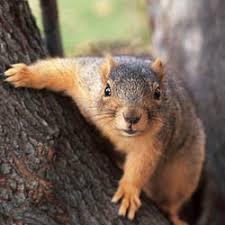 Dnr Fox Squirrel