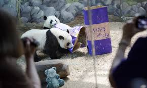 american born panda twins slow in adapting to culture