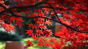 how to select the right japanese maple