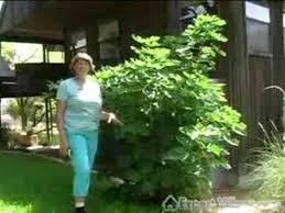 DiosporosvirginianaCommonPersimmonjpgFruit Trees That Grow In Nc