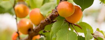Michiganu0027s Tart Cherry Tree  Cherries  Pinterest  Tart Cherries What Fruit Trees Grow In Michigan