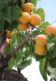 The Best Fruit Trees To Grow In Southern California  HunkerSouthern California Fruit Trees