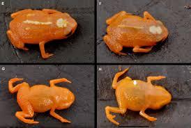 Brachycephalus Mirissimus, Katak Super Kecil Yang Berwujud Seperti Jelly