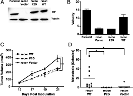 macrophage migration inhibitory factor promotes tumor growth and figure