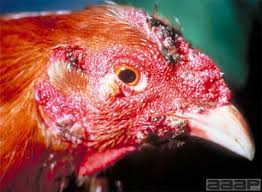 Fowl Pox symptom