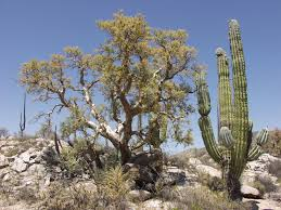 desert plants with names. Brilliant Names 9 Elephant Tree With Desert Plants Names T