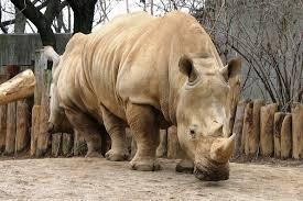 """Résultat de recherche d'images pour """"rhinocéros blanc du nord"""""""