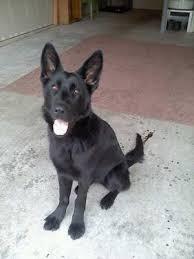 baby black german shepherd. Plain Shepherd What A Cutie In Baby Black German Shepherd P