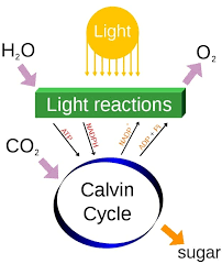 Cellular Respiration And Photosynthesis Biology Dictionary