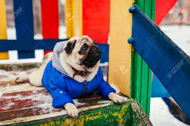Pug Dog In Winter Clothes Sitting On ...