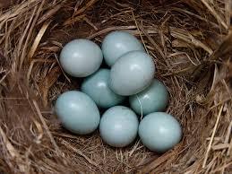 mountain bluebird eggs