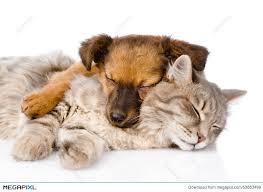 dog and cat sleeping together. Wonderful Sleeping Cat And Dog Sleeping Together Isolated On White Background Inside Dog And Sleeping Together
