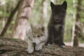 regardless wolves are still d and feared mostly due to myths and fairy tales if you take a closer look however you will see a pletely diffe