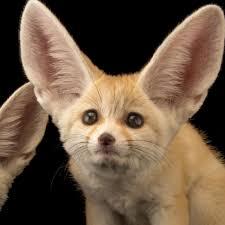 fennec fox. Brilliant Fox And Fennec Fox I