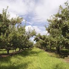 Create Small Fruit Trees With This Pruning Method  Organic Fruit Trees For North Florida
