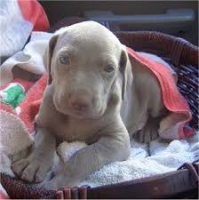 the front left side of a young weimaraner puppy that is laying in a wicker basket