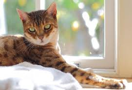 How Big Do Bengal Cats Get Lovetoknow