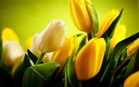 wallpaper yellow tulips flowers green