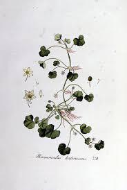 File:Ranunculus hederaceus — Flora Batava — Volume v5.jpg ...