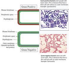 Bacteria Classification Bacteria Classification Read Biology Ck 12 Foundation