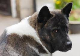 How Much Food Should An American Akita Eat