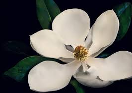 like this item  on white magnolia wall art with fine art photography nature flower photograph flower
