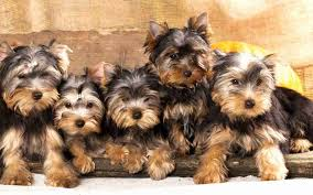 6 things you need to know before you get a yorkie