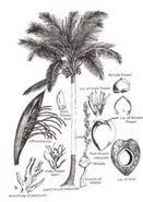the coconut tree essay  the coconut tree essay