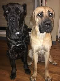 Cane Corso Growth Chart Cane Corso Italiano Dog Breed Information And Pictures