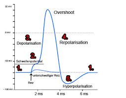 depolarisation repolarisation