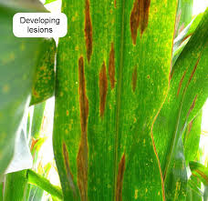 Northern Corn Leaf Blight Dupont Pioneer