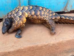 a black bellied pangolin phainus tetradactyla in central african republic opportunistically taken for its meat photo by john c cannon