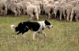 Image result for sheepdogs