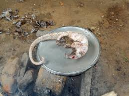 pangolin prepared for cooking