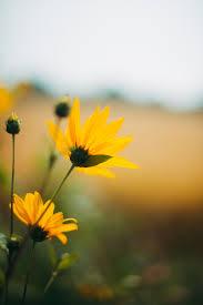 yellow flower in tilt shift lens photo ...