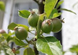 green apple fruit tree. apple tree young apples green fruit
