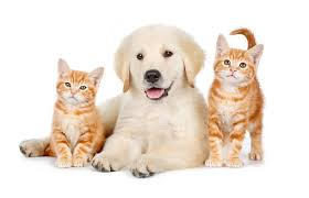 golden retriever puppy and kitten. Exellent Puppy KimballStock_DOK 01 BK0029 01_preview On Golden Retriever Puppy And Kitten I