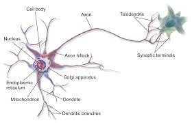 Neuron Wikipedia