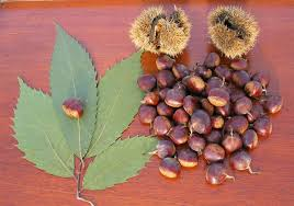 average american flower size american chestnut wikipedia