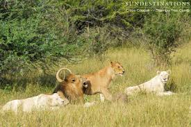 white lioness with blue eyes. Interesting Lioness This Lucky Trilogy Male Was Keeping 3 Lionesses Company  2 White And 1  Twany In White Lioness With Blue Eyes