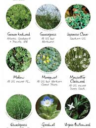 Common Lawn Weeds Visual Ly
