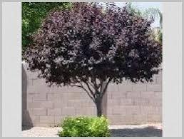 Plum Tree Stock Images RoyaltyFree Images U0026 Vectors  ShutterstockPlum Tree Not Producing Fruit