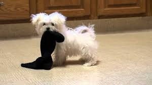 maltese dog. maltese puppy playing http://www.sonshineacres.com/ 402-994-5505 dog