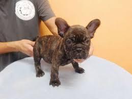 puppy breed french bulldog