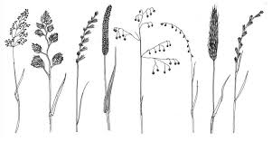 Grass Identification Chart Uk New Online Key To Grass Families Guest Blog By Sally