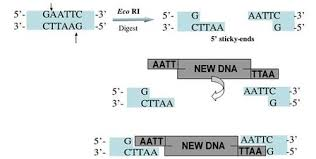 Restriction Enzyme Restriction Enzymes How Is Dna Manipulated