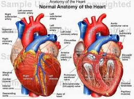 best human heart diagram ideas heart diagram  human anatomy and physiology diagrams heart anatomy